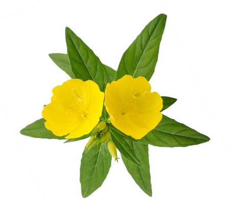 common evening primrose flowers isolated on white Stock Photo