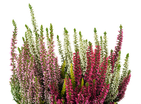 Calluna plants with flowers isolated on white
