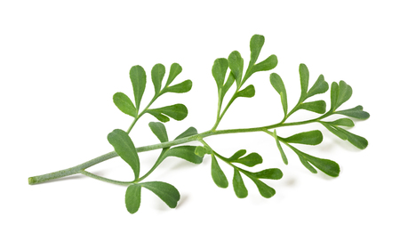 ruta: Common rue bunch isolated on white background
