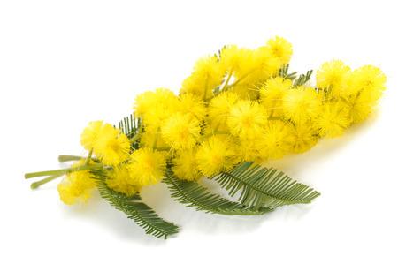Mimosa (argento canniccio) fiori isolati su sfondo bianco.