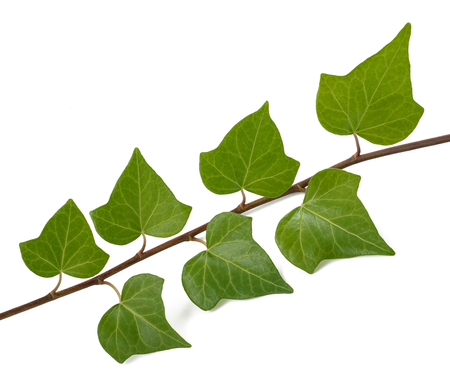 Ivy branch isolated on white background