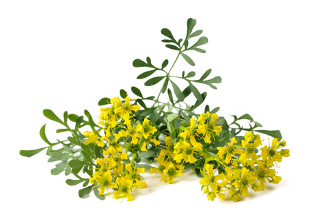 ruta: Herb of Grace flowers and leaves isolated on white