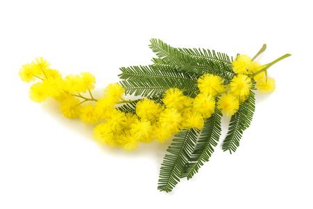 mimose: Mimosa (argento canniccio) ramo isolato su sfondo bianco.