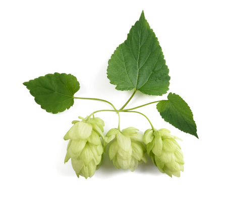 common hop: hops cones isolated on white background