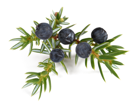 enebro: Juniper branch with  berries isolated on white