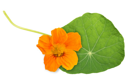 Green nasturtium leaf with flower isolated on white background.