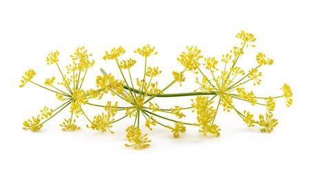 Dzikie kwiaty kopru na białym tle