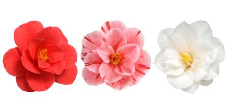 椿の花ホワイト白背景に赤とピンクの免