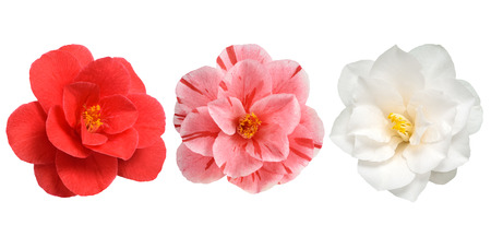 Camellia Flowers white red and pink Isolated on White Background Standard-Bild