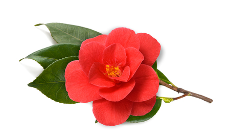 camellia branch with flower isolated on white background Stock Photo