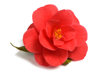 Red camellia flower isolated on white background