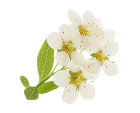 Hawthorn (Crataegus monogyna) sprig with flowers isolated on a white background