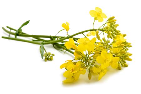 napus: Rapeseed (Brassica napus ) flowers isolated on white