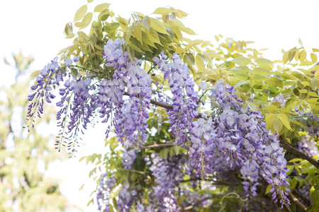glycine: Hanging purple wisteria bunches   flowers in spring Stock Photo