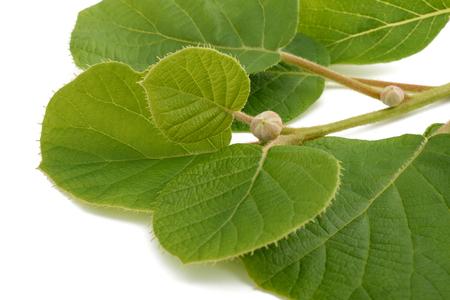 actinidia deliciosa: kiwi branch isolated on white background Stock Photo