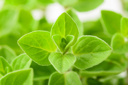 Fresh green marjoram plants background,