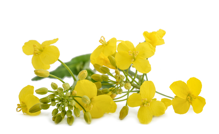 rappi: Rapeseed (Brassica napus ) flowers isolated on white