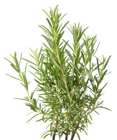 白い背景で隔離のローズマリー植物