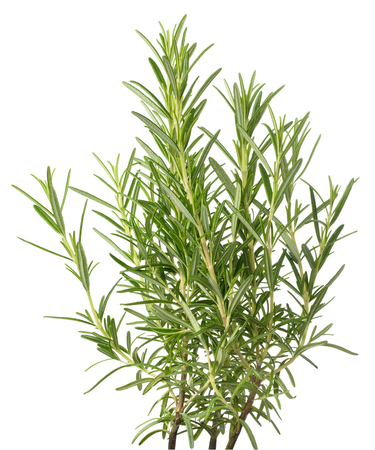 rosemary plants isolated on white background
