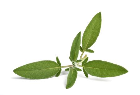 fresh sage isolated on white background