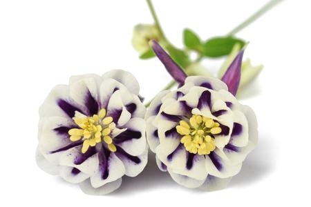 Aquilegia vulgaris (European columbine ) isolated on white background     Stock Photo