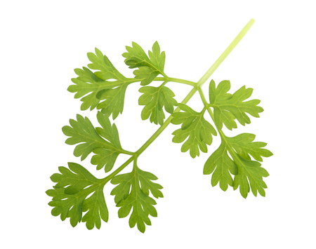 Fresh Chervil sprig isolated on white background