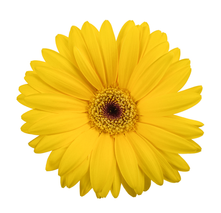 Yellow gerbera  isolated on white