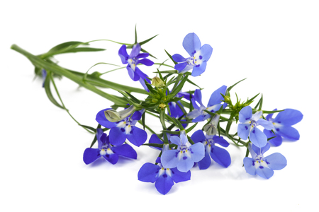 blue lobelia flowers isolated on white background.