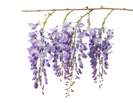 glycine:  wisteria flowers isolated on white