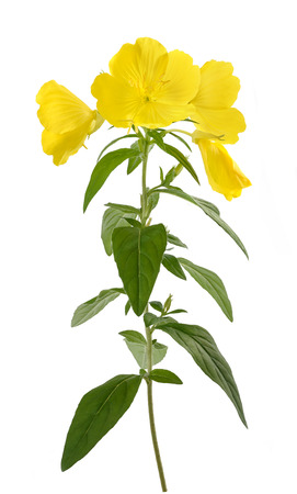 화이트 절연 일반적인 저녁 앵초 꽃