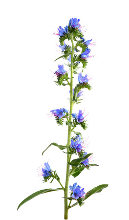 Vipers Bugloss or Blueweed isolated on white background