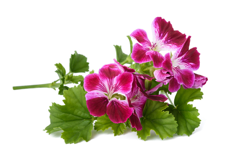 Scented Geranium flowers isolated on white background 스톡 콘텐츠