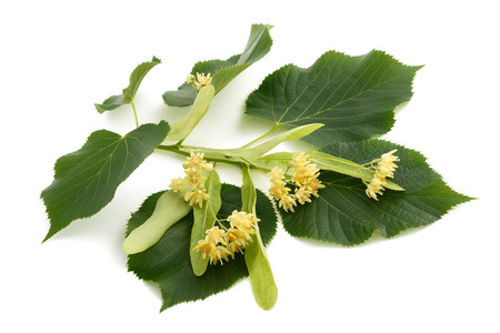 tilia cordata: linden branch with bract and flowers isolated on white background