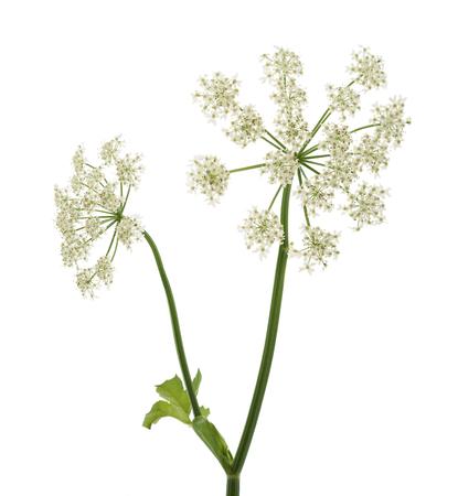 안젤리카 archangelica 꽃은 흰색 배경에 고립 된 스톡 콘텐츠