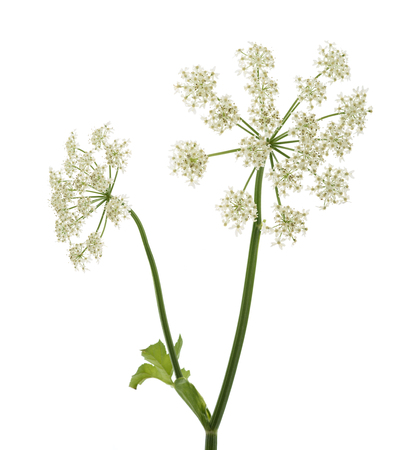 Angelica archangelica flowers isolated on white background