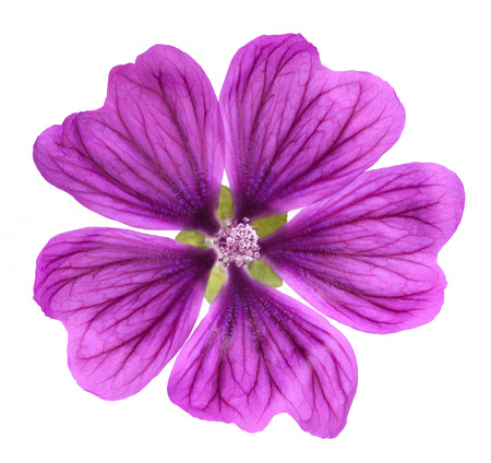 Violet Common Mallow flower  (Malva Sylvestris) isolated on white background Stock Photo