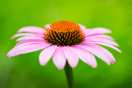 Pink coneflower (echinacea) on a blurred background Stockfoto
