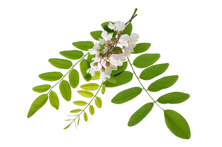 black locust Branch with  flowers isolated on white background 版權商用圖片