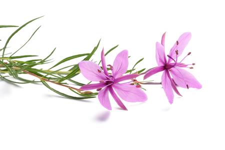 Roze alpiene willowherbbloemen die op wit worden geïsoleerd Stockfoto