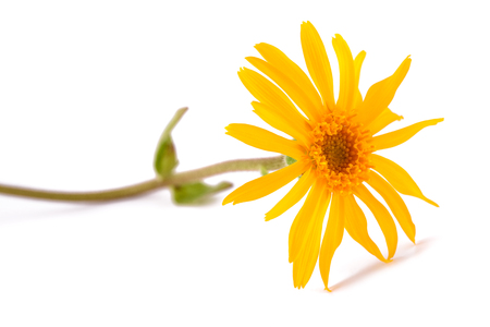 Arnica montana isolated on white background 版權商用圖片 - 85112194