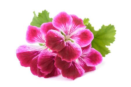 白い背景に分離された香りのゼラニウムの花 写真素材