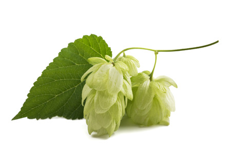 hops cones isolated on white background