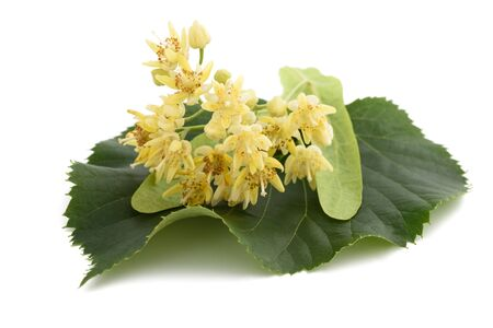 tilia cordata: linden leaf with bract and flowers isolated on white background Stock Photo