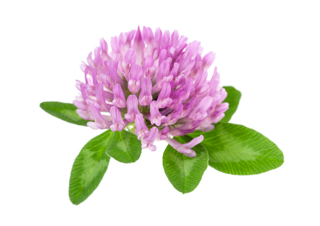 trifolium: Red clover flowers and leaves isolated on white background
