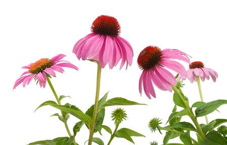 白い背景に分離されたピンクのルドベキア (エキナセア)