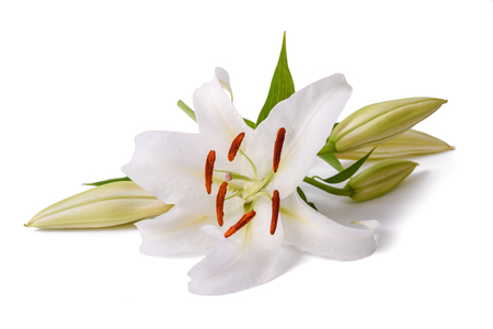 White lily flower isolated on a white background