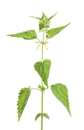 Ortie avec des fleurs isolé sur fond blanc Banque d'images - 87639475