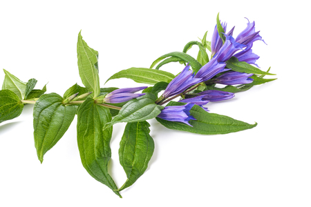 Gentiana asclepiadea isolated on white background Stock Photo