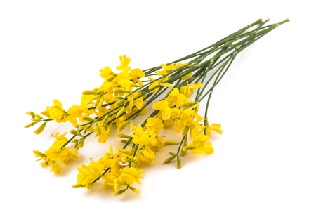 broom flowers isolated on a white background