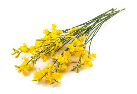 bezem bloemen geïsoleerd op een witte achtergrond Stockfoto